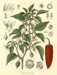 نبات الشطة