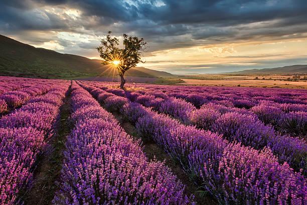 cánh đồng hoa oải hương đẹp nhất thế giới 24