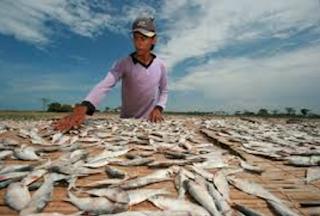 Cara Fermentasi Ikan Peda