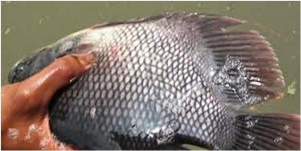 Contoh Proposal Usaha Ikan Gurame Nugroho Pangestu