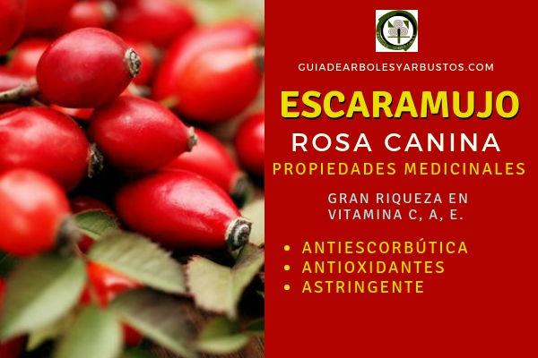 El fruto rosa silvestre, escaramujo, tiene propiedades antiescorbúticas, antioxidantes, astringente