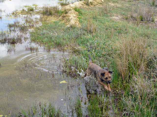 border terrier leaping in water