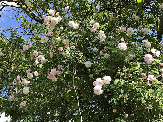weiß-rosa Rambler Pauls Himalayan Musk (c) by Joachim Wenk
