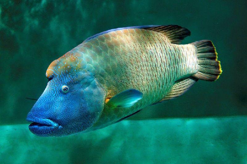 Gambar Ikan Laut Napoleon