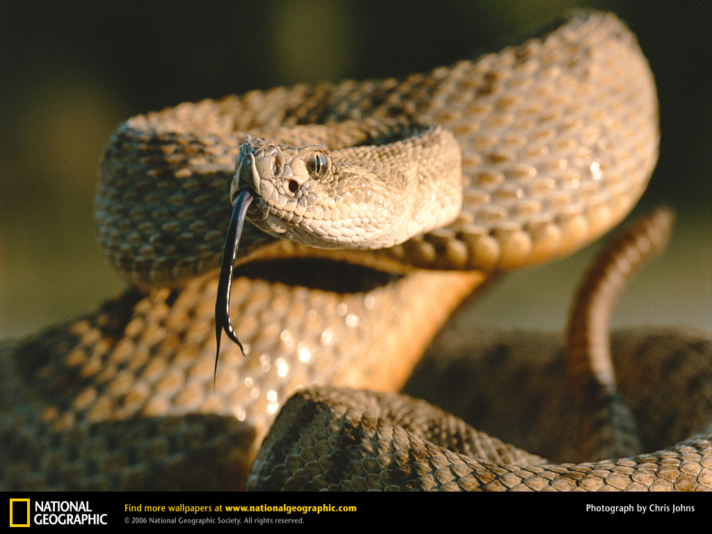 http://2.bp.blogspot.com/-jQhl6-PmBpU/TwZ4yX8At_I/AAAAAAAABRI/tJd7jAZU2WE/s1600/Rattle%2BSnake-Wallpapers-02.jpg