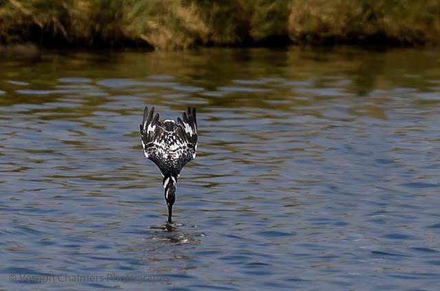 Diving Pied Kingfisher at Woodbridge Island, Cape Town