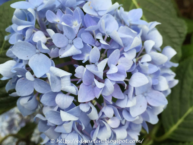 blau blühende Hortensie
