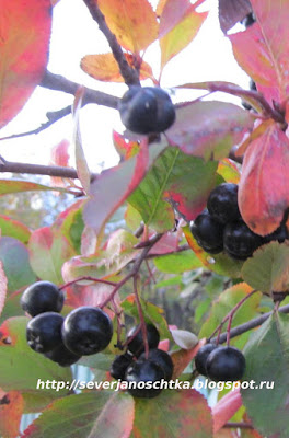 арония, черноплодная рябина