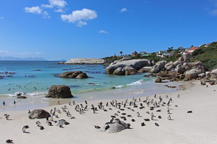 Boulder's Beach, Südafrika - Pinguinkolonie