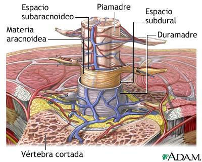 La médula espinal y su morfología externa e interna