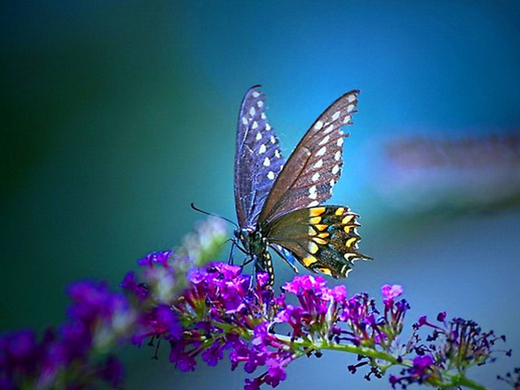 Wallpaper Bluos: Butterfly Wallpaper