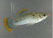 gambar leluhur Ikan Black Molly