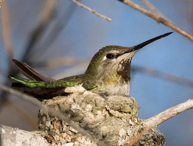 San Diego, California Backyard bird: Anna's Hummingbird