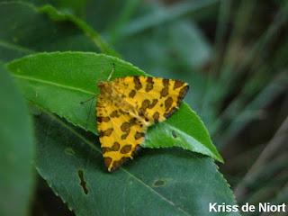 Pseudopanthera macularia - Panthère