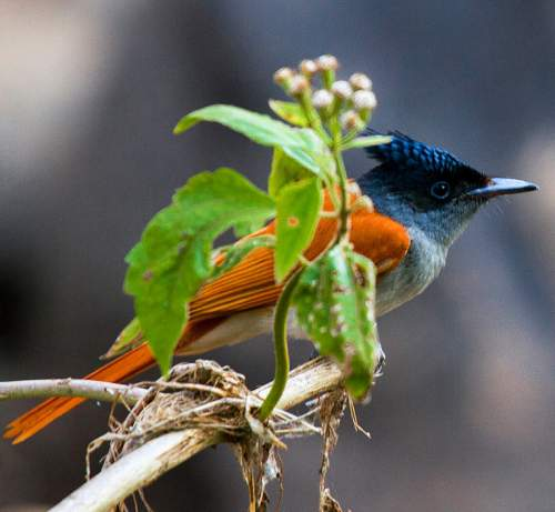 Image of Indian paradise flycatcher - Terpsiphone paradisi