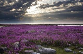 Foto Bunga Lavender Ungu yang Indah 17