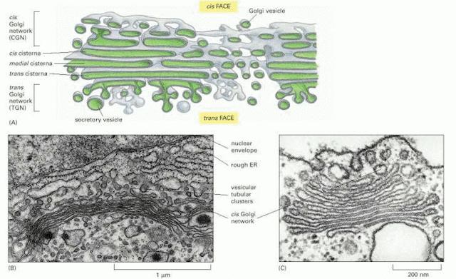 La structure de l'appareil de Golgi