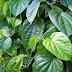 Cách trị tàn nhang bằng phương pháp tự nhiên cực hiệu quả với lá trầu