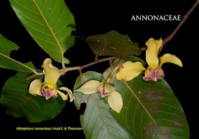 นมหนู, มะป่วน, ลำดวนดง ไม้ไทยดอกหอม Mitrephora tomentosa