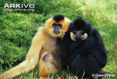 Red chekeed gibbon