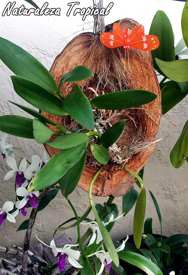 Naturaleza tropical manual para el cultivo de orqu deas - Maceta para orquideas ...