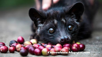 Luwak Coffee, The Most Expensive Coffee in the World