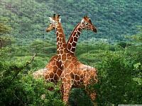 Giraffes in Africa