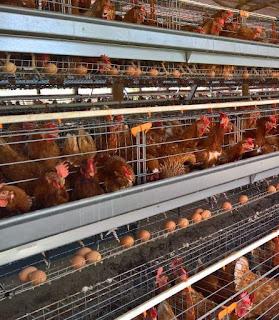 commercial poultry farm