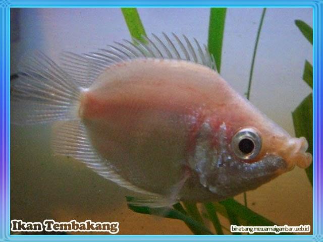 gambar ikan tembakang