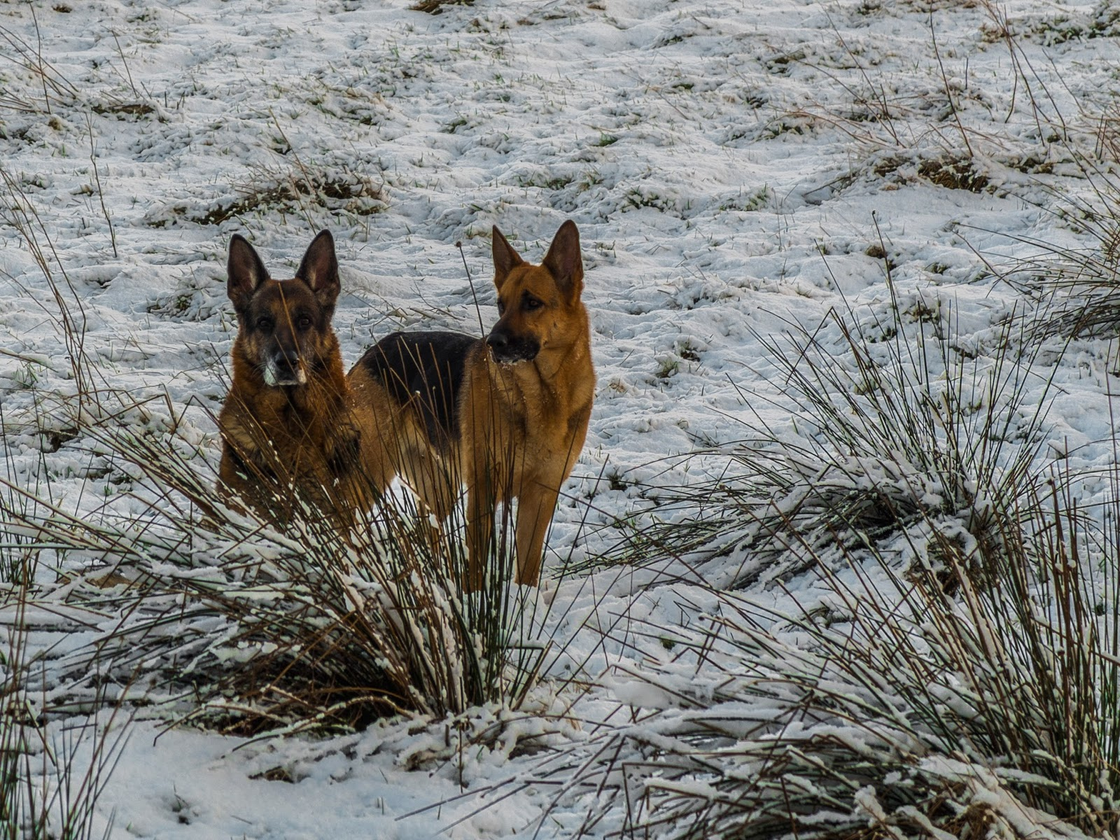 German Shepherd male and female in the snow on a hill.