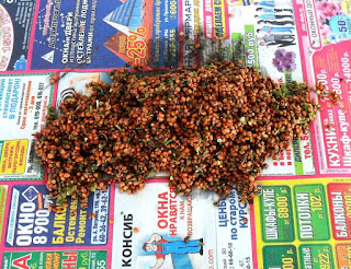 Семена редиски только что извлечены из стручков
