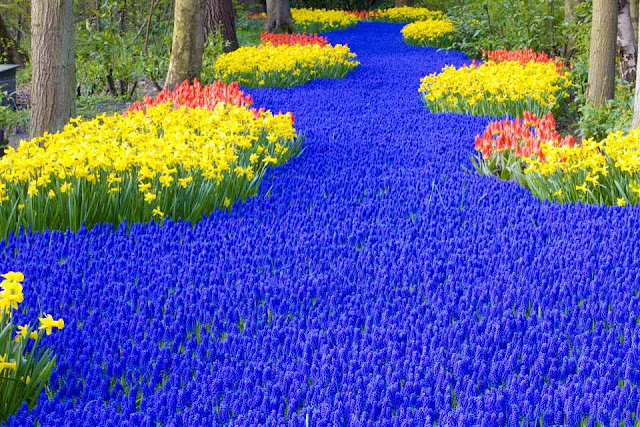 Keukenhof park, Beautiful Flower Garden at Netherlands Blue Flower