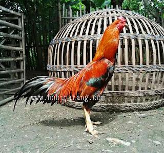Jenis Ayam Bangkok Wangkas Terbaik