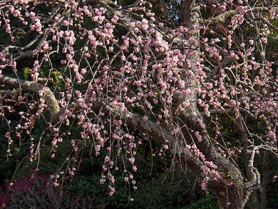 Ume (Prunus mume) blossoms: Kaizo-ji