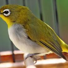 4 Tips Jitu Meningkatkan Gairah Burung Pleci