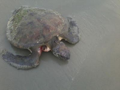 Resgate da tartaruga marinha mostra sensibilidade dos moradores e amor aos animais