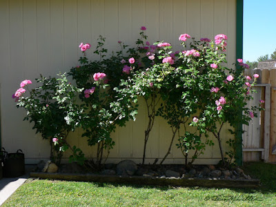 Five Rose Bushes in a Row, photograph ©2018 Tina M. Welter