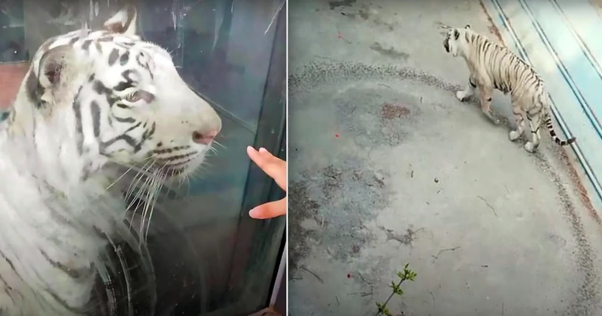 Tragic Footage Of Distressed Tiger Pacing In Endless Circles In A Small Enclosed Area At Beijing Zoo