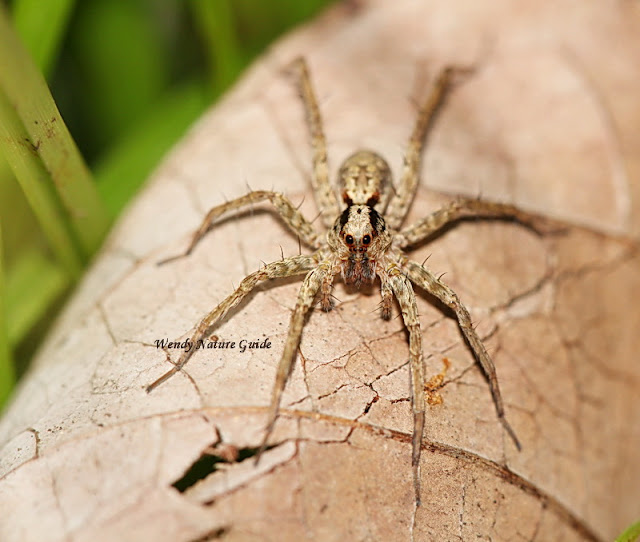 langkawi nature rainforest walk wolf spider