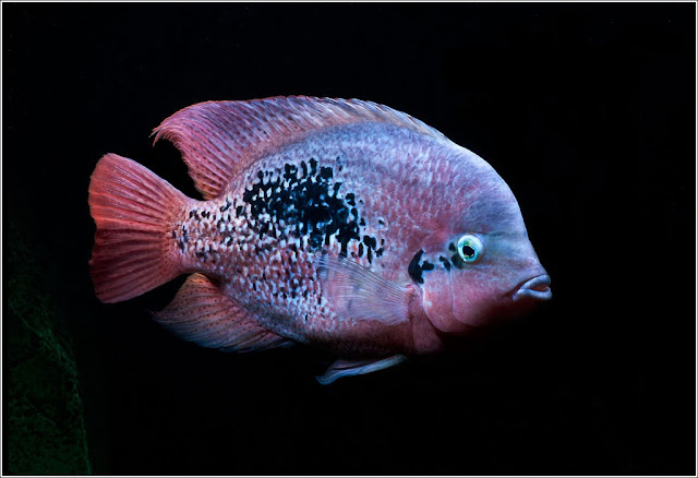 Bifa ikan hias air tawar