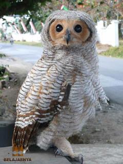 Burung Hantu Strix Seloputo