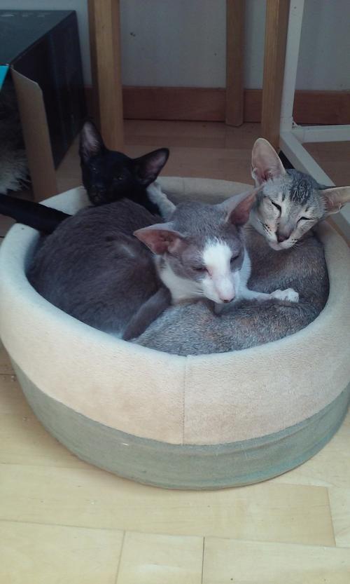 три смешных кота гоблина