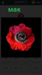 Красный цветок мак на темном фоне и внутри ползает черный жучок