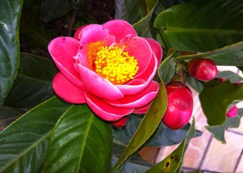 Hoa Hải Đường là loài hoa rất được ưa chuộng tại Việt Nam