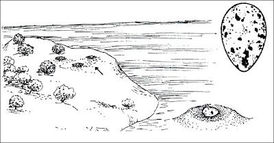 nido de Gaviotin real Sterna Thalasseus maxima