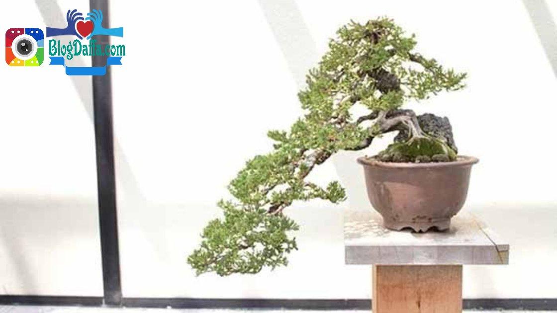 Bonsai pohon santigi