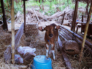 A Young Calf At The Cages At The Farming Area Of Ringdikit Village, Buleleng, North Bali, Indonesia