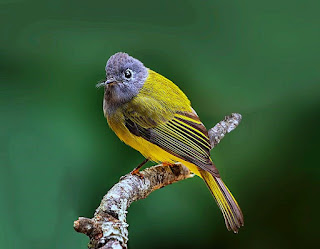 Grey Headed Canary Flycatcher - Coorg, India, Asia, Western Ghats