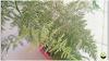 الأسبرجس الناعم نبات زينة للمبتدئين، العناية و الإكثار بالتقسيم.