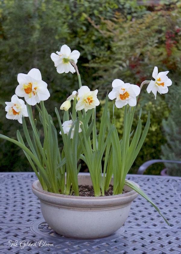 Flower Drift Daffodils- www.gildedbloom.com